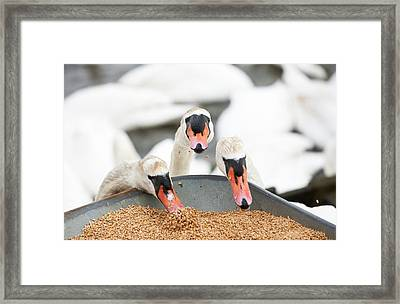 Wild Mute Swans Pinching Grain Framed Print by Ashley Cooper