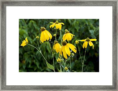 Yellow Cone Flowers Rudbeckia Framed Print by Rich Franco