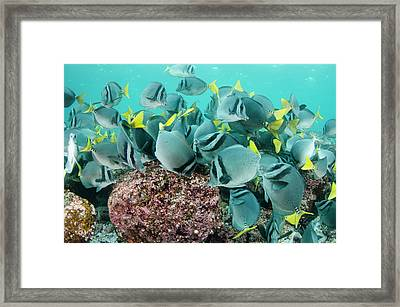 Yellowtailed Surgeonfish (prionurus Framed Print by Pete Oxford