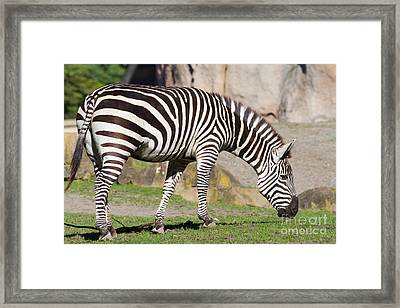 Zebra 7d8956 Framed Print by Wingsdomain Art and Photography