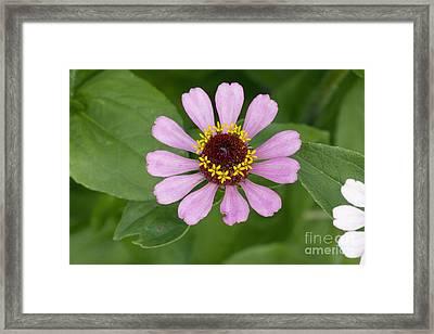 Zinnia Elegans Flower Framed Print by Bob Gibbons