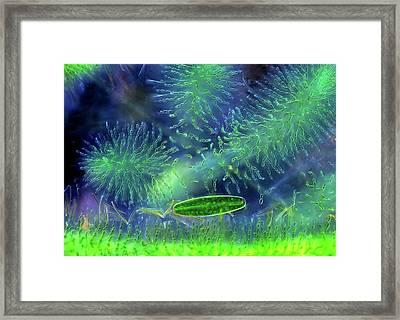 Desmid And Red Algae Framed Print by Marek Mis