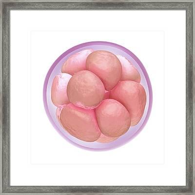 Fertilised Egg Cell Dividing Framed Print by Maurizio De Angelis
