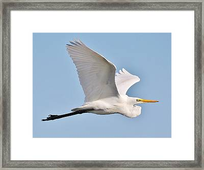 Great White Egret In Flight Framed Print by Paulette Thomas