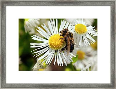 Honey Bee Pesticide Research Framed Print by Philippe Psaila