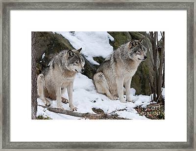 Timber Wolves Framed Print by Wolves Only