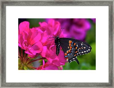 Black Swallowtail Butterfly, Papilio Framed Print by Darrell Gulin