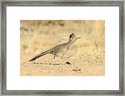 Greater Roadrunner Framed Print by Scott Linstead