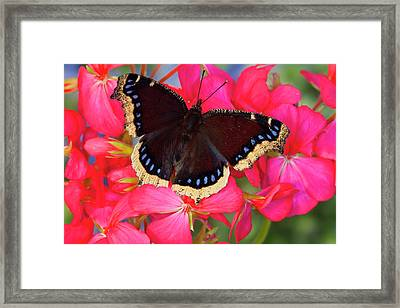 Mourning Cloak Butterfly, Nymphalis Framed Print by Darrell Gulin
