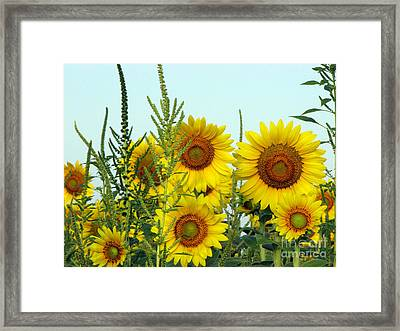 Sunflower Series Framed Print by Amanda Barcon