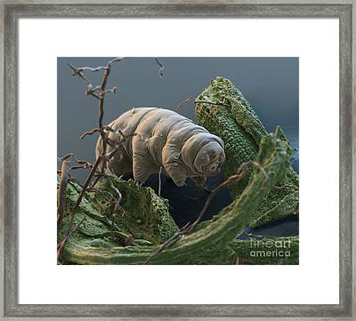 Water Bear Framed Print by Eye of Science and Science Source
