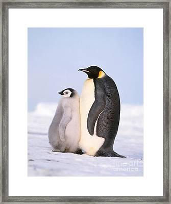 Emperor Penguin Aptenodytes Forsteri Framed Print by Hans Reinhard