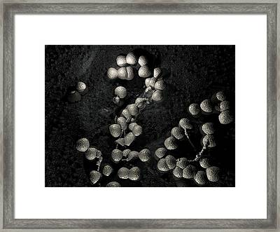 Neisseria Gonorrhoeae Bacteria Framed Print by Hipersynteza