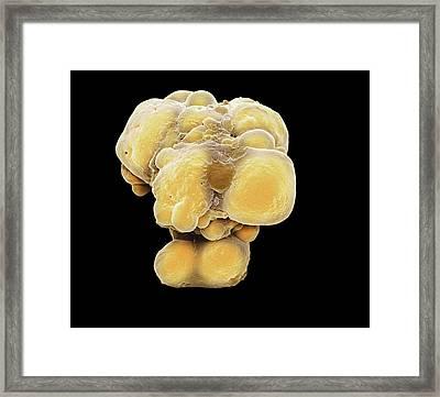 Pluripotent Stem Cells Framed Print by Steve Gschmeissner