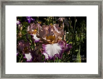 Purple Iris Framed Print by Mandy Judson