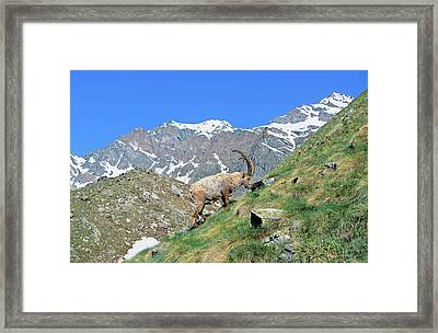 Alpine Ibex (capra Ibex Framed Print by Martin Zwick