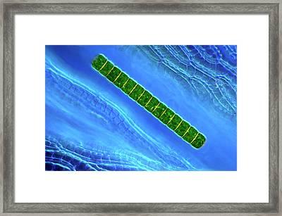 Desmid On Sphagnum Moss Framed Print by Marek Mis