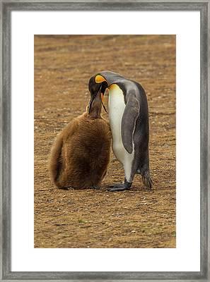 Falkland Islands, East Falkland Framed Print by Jaynes Gallery