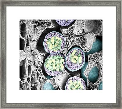 Dividing Pollen Cell Framed Print by Professor T. Naguro