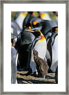 King Penguin (aptenodytes Patagonica Framed Print by Martin Zwick