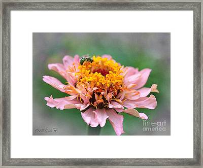 Zinnia From The Candy Mix Framed Print by J McCombie