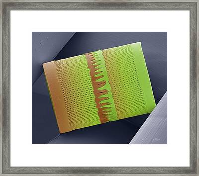 Diatom Framed Print by Steve Gschmeissner