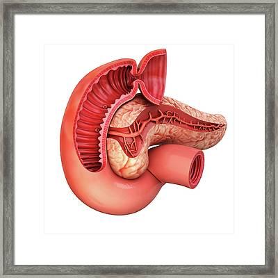 Human Pancreas Framed Print by Pixologicstudio