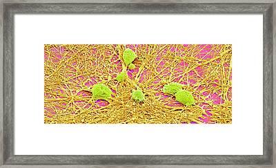 Nervous System Cells Framed Print by Susumu Nishinaga