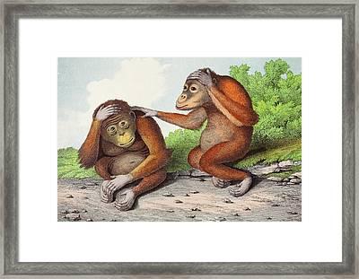 1860 Two Sweet Orangutan Illustration Framed Print by Paul D Stewart