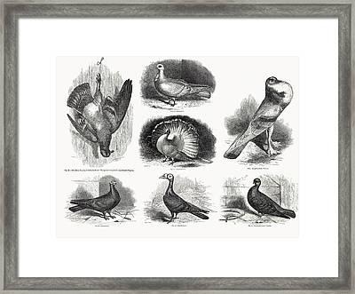 1868 Darwin Pigeon Breeds Illustration Framed Print by Paul D Stewart