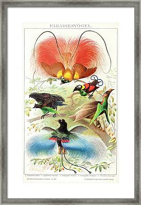 1894 Bird Of Paradise Wrong Display Poses Framed Print by Paul D Stewart