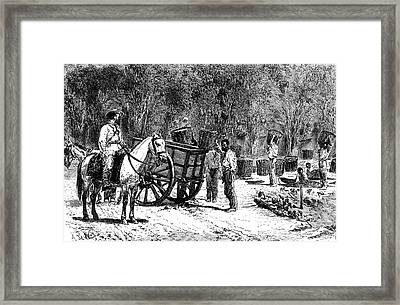 19th Century Coffee Harvest Framed Print by Collection Abecasis