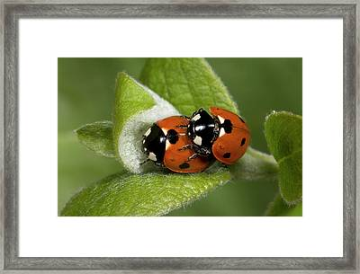 7-spot Ladybirds Framed Print by Nigel Downer
