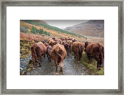 A Farmer Droves His Cattle Framed Print by Ashley Cooper