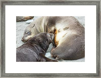 A Female Antarctic Fur Seal Framed Print by Ashley Cooper