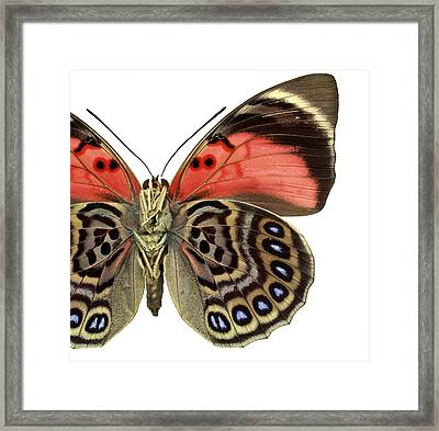Agrias Claudina Framed Print by Natural History Museum, London