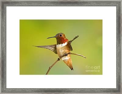 Allens Hummingbird Framed Print by Anthony Mercieca
