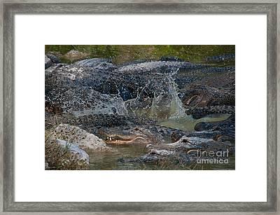Alligators Framed Print by Mark Newman