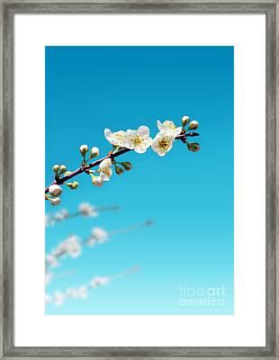 Almond Branch Framed Print by Carlos Caetano