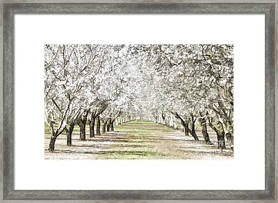Almond Orchard Framed Print by Kathleen Gauthier