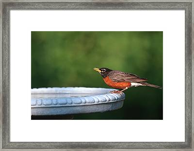 American Robin (turdus Migratorius Framed Print by Richard and Susan Day
