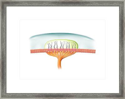 Ampullary Cupula, Artwork Framed Print by Science Photo Library