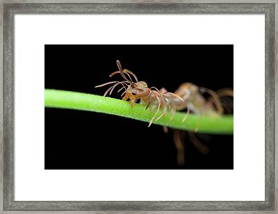 Ant-mimic Caterpillar Framed Print by Melvyn Yeo