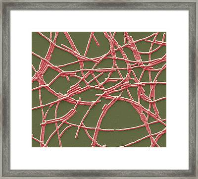 Anthrax Bacteria Framed Print by Steve Gschmeissner