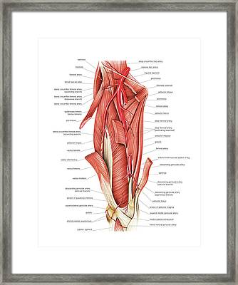 Arterial System Of The Thigh Framed Print by Asklepios Medical Atlas