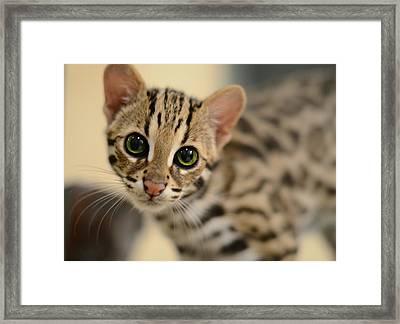 Asian Leopard Cub Framed Print by Laura Fasulo