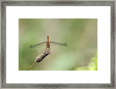Autumn Meadowhawk Framed Print by Cindi Ressler