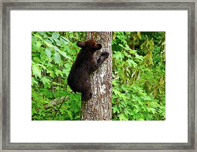 Baby Bear Framed Print by Christi Kraft
