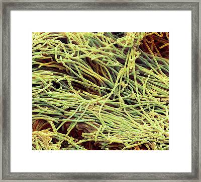 Bacillus Megaterium Bacteria Framed Print by Steve Gschmeissner