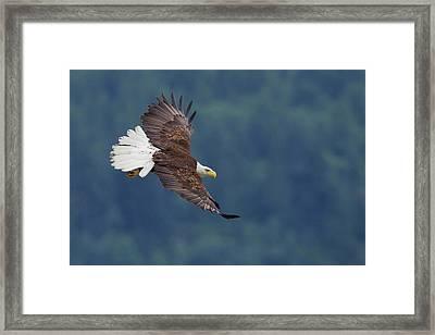 Bald Eagle In Flight Framed Print by Ken Archer